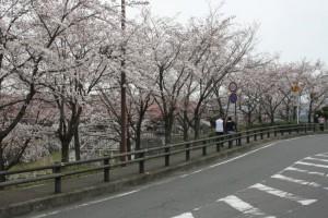桜のトンネルや(^^)/